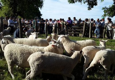 img remate de ovinos en corrientes